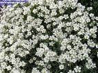 Cerastium Biebersteinii Snow In Summer Flowers - 1,500 Seeds