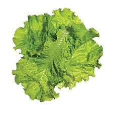 Black Seeded Simpson Lettuce 1000 Seeds From The Dirty Gardener