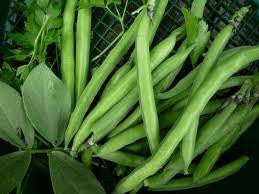 Top Crop Bush Bean. 1 Bulk Pounds From the Dirty Gardener
