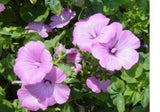 1,100 Rose Mallow Flower Seeds from The Dirty Gardener - The Dirty Gardener