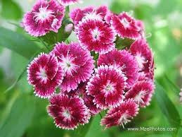 Sweet William Flower Seed 1# From The Dirty Gardener