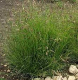 Blue Grama Native Grass Seed- 1# Bulk Pounds from The Dirty Gardener