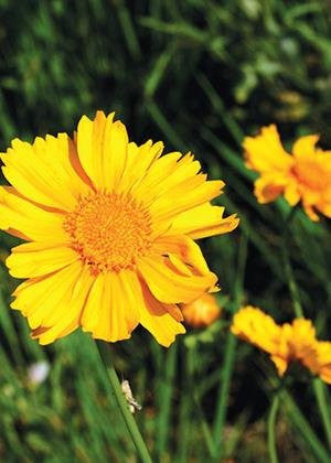 The Dirty Gardener Coreopsis Lanceolata Yellow Lance Leaved Flowers