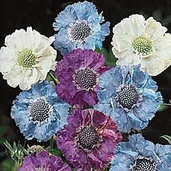 The Dirty Gardener Isaac House Scabiosa Pincushion Flower Mix, 30+ Seeds