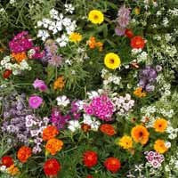 Deer Resistant Wildflower Seed 1 Pound From The Dirty Gardener