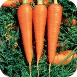 The Dirty Gardener Great Heirloom Danvers Carrots, 1,300 Seeds