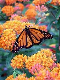 Butterfly Weed Seed- 50 Seeds from The Dirty Gardener