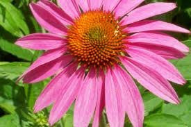 Echinacea Seeds- Echinacea Purpurea- Tall Purple Coneflower 1/2 Pound Bulk