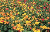 The Dirty Gardener Cosmos Bright Light Wildflower Mix