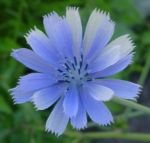 Cichorium Intybus Chicory Wildflowers, 100 Seeds