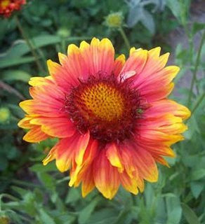 The Dirty Gardener Gaillardia Aristata Pinwheel Blanket Flowers - 150,000 Seeds