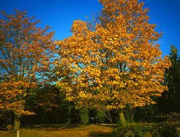 Bigleaf Maple 100 Seeds (acer macrophyllum) from The Dirty Gardener