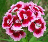 Sweet William Flower 50 Seeds From The Dirty Gardener