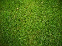 Coated Bermuda Grass Seed- 25# Bulk Pounds