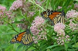 Butterfly Milkweed 50 Seeds Asclepias syriaca attract Monarch's From The Dirty Gardener