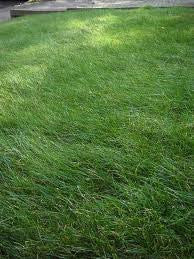 2# Kenicott Creeping Red Fescue for Complete Shady Areas. Proprietary Variety - The Dirty Gardener