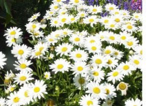The Dirty Gardener Shasta Daisy Flowers, 2,700 Seeds