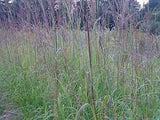 Big Bluestem Grass Seed 5# From The Dirty Gardener