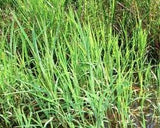 Rice Cut Grass Native Seed 1# From The Dirty Gardener