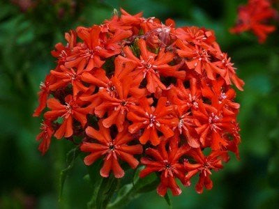 The Dirty Gardener Heirloom Lychnis Maltese Cross Flowers, 50+ Seeds