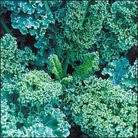 Siberian Heirloom Kale Seed 1# From The Dirty Gardener
