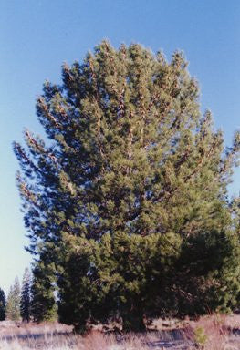 The Dirty Gardener Pinus Attenuata Knobcone Pine Trees