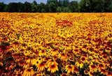 Black-Eyed Susan Flower Seeds Rudbeckia Hirta 1/4# From The Dirty Gardener