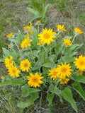 The Dirty Gardener Arrowleaf Balsamroot, 250 Seeds