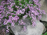 Saponaria Ocymoides Rock Soapwort Flowers - 25 Seeds