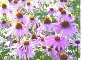 The Dirty Gardener Purple Coneflower Flowers - 1,200 Seeds