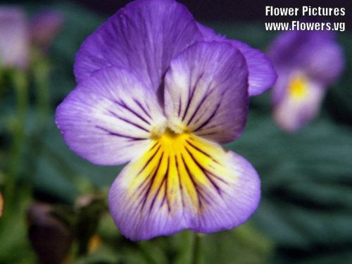 Johnny Jump-Up Viola Tricolor Flowers - 50 Seeds