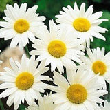 Chrysanthemum Maximum Alaska Shasta Daisy Wildflowers - 6,000 Seeds