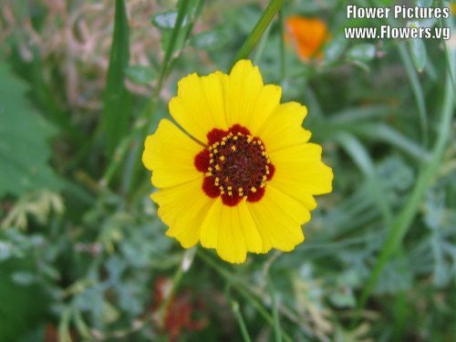 Coreopsis Basalis Golden Wave Coreopsis Flowers, 1,000 Seeds