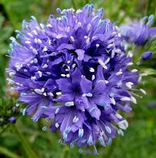 The Dirty Gardener Heirloom Globe Gilia Wildflowers, 500 Seeds