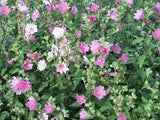 Lavatera Trimestris Rose Mallow Mix - 200 Seeds