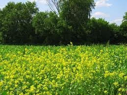 2# Pound of Yellow Blossom Sweet Clover Seed From the Dirty Gardener