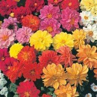 Dwarf Double Dahlia Mixed Seeds