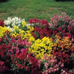 The Dirty Gardener Antirrhinum Magic Carpet Mixed - 2.5 Grams