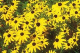 The Dirty Gardener Rudbeckia Hirta Black Eyed Susan Flowers