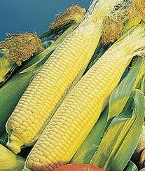 GOLDEN QUEEN CORN SEED 5# Bulk Hybrid Seed