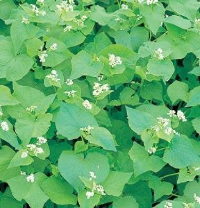 Cover Crop Grain Buckwheat Common Organic 1 Pound From The Dirty Gardener