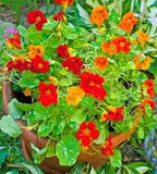50 Nasturtium Wild Flower Seeds (Tropaelomu Majus) From The Dirty Gardener - The Dirty Gardener