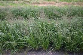 Ermelo Weeping Love Grass- 25# Bulk Pounds