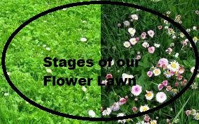 Flower Lawn- Mix of Low Growing Grass and Flowers- No Mowing. 1# Bulk