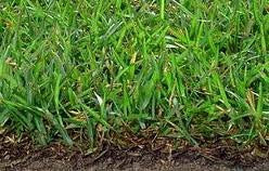 Centipede Grass Seed- 10 Bulk Pounds- Raw Seed, No Mulch