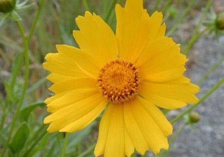 Lance Leaved Coreopsis Seeds - Coreopsis lanceolata - 250,000 Seeds From The Dirty Gardener