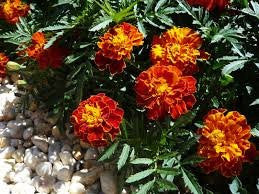 Marigold French Sparky Mix 500 Seeds From The Dirty Gardener