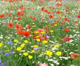 The Dirty Gardener Annual Wildflower Seed Mix