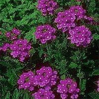 The Dirty Gardener Verbena Tenuisecta Moss Verbena, 500 Seeds