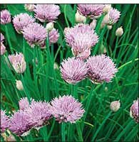 The Dirty Gardener Heirloom Organic Open-Pollinated Chives, 250 Seeds